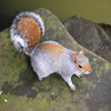 Jigsaw: Posing Squirrel